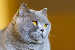 Close-up photo of a gray cat`s head with yellow eyes Stock Photography
