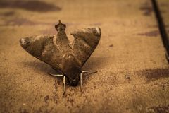 Close Up Photo of Gray Hawk Moth on Ground royalty free stock photography