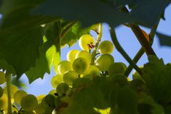 Close-up photo of a green grape vine in a vineyard between green Royalty Free Stock Photography