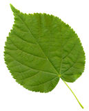 Close-up photo of green leaf. Isolated on the white Stock Image