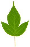 Close-up photo of green leaf. Isolated on the white Royalty Free Stock Images