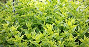 Close Up Photo of Green Leafed Plants Royalty Free Stock Image