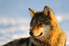 Close Up Photo Of A Wolf Canis lupus royalty free stock photo