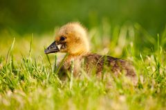 Greylag Goose chick Anser anser. Close up photo of a greylag goose chick Anser anser royalty free stock photography