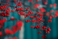 Close up photo of hawthorn tree with red berries. Stock Photo