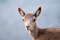 Close up photo of the head and face young deer Royalty Free Stock Photos