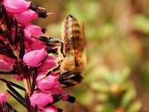 Close Up Photo of Honeybess Perching on Pink Flower Buds Stock Photography