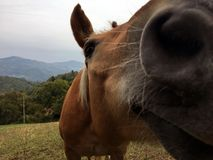 Curious horse on the mountains. Close-up photo of an horse on the mountains in a summer day Royalty Free Stock Photos