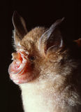 Close up photo of horseshoe bat. A cave dwelling Thomass Horseshoe Bat (Rhinolophus thomasi) close up photo. Scanned from a slide film Stock Image