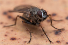 Close up Photo of House Fly on Brown Spotted Surface Royalty Free Stock Photography