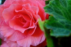 A close-up photo of a huge and beautiful garden begonia flower. royalty free stock photo