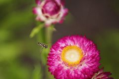 Close-up Photo of Insect Flying Towards the Flower Royalty Free Stock Images