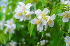 Close-up photo of Jasmine flowers blooming in garden at spring. Stock Image
