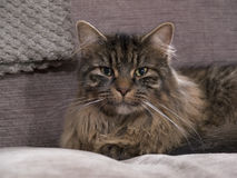 Close up photo of Jesse the cat posing on a chair. Stock Images