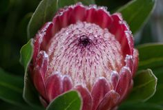 Close up photo of king large red protea flower with a lot of rain drops. Australia protea royalty free stock photos
