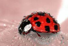 Close Up Photo of Lady Bug Royalty Free Stock Photography