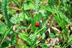 Close-up photo of a ladybird walking down a green leaf royalty free stock photo