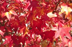 A close-up photo of the leaves of a maple tree in the autumn