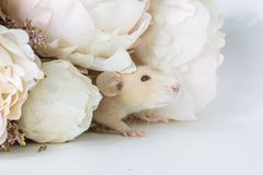 Close-up photo of litle cute white rat in Beautiful Flowering Cherry Tree branches stock photography