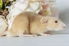 Close-up photo of litle cute white rat in Beautiful Flowering Cherry Tree branches royalty free stock photo