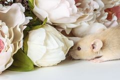 Close-up photo of litle cute white rat in Beautiful Flowering Cherry Tree branches royalty free stock photography
