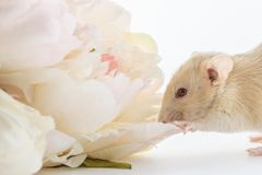 Close-up photo of litle cute white rat in Beautiful Flowering Cherry Tree branches stock image
