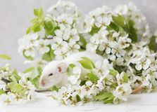 Close-up photo of litle cute white rat in Beautiful Flowering Cherry Tree branches Royalty Free Stock Photos