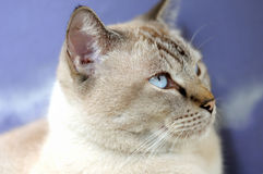 Close up photo of a Lynx Point Siamese cat. A close up photo taken on the head of a Lynx Point Siamese cat with blue eyes looking at an object of interest Stock Photography