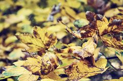 Close up photo of maple tree with yellow leaves, old filter. Close up photo of maple tree with cracked yellow leaves. Autumn natural scene. Vibrant colors Royalty Free Stock Photo