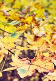 Close up photo of maple tree with yellow leaves, red filter. Close up photo of maple tree with cracked yellow leaves. Autumn natural scene. Vibrant colors. Red Royalty Free Stock Images