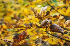 Close up photo of maple tree with cracked yellow leaves. Beauty in nature. Autumn natural scene. Vibrant colors Royalty Free Stock Photos