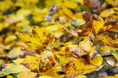 Close up photo of maple tree with yellow leaves. Close up photo of maple tree with cracked yellow leaves. Autumn natural scene. Vibrant colors. Beauty in nature Stock Images