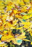 Close up photo of maple tree with yellow leaves. Close up photo of maple tree with cracked yellow leaves. Autumn natural scene. Vibrant colors. Vertical Royalty Free Stock Photo