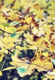 Close up photo of maple tree with yellow leaves, old filter. Close up photo of maple tree with cracked yellow leaves. Autumn natural scene. Vibrant colors Royalty Free Stock Photos