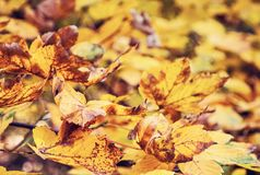 Close up photo of maple tree with yellow leaves, red filter. Close up photo of maple tree with cracked yellow leaves. Autumn natural scene. Vibrant colors Stock Photography