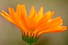 Close-up photo of a bright orange marigold flower, resembling fire stock photo