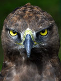 Close-up photo of a Martial Eagle. Close-up Portrait of a martial eagle (Polemaetus bellicosus), South Africa stock photo