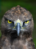 Close-up photo of a Martial Eagle. Stock Photo