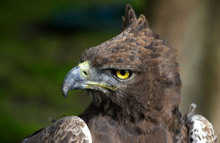 Close-up photo of a Martial Eagle. Royalty Free Stock Image