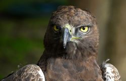 Close-up photo of a Martial Eagle. Close-up Portrait of a martial eagle (Polemaetus bellicosus), South Africa stock images