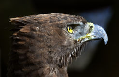 Close-up photo of a Martial Eagle. Royalty Free Stock Images