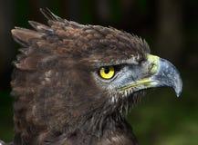 Close-up photo of a Martial Eagle. Stock Photos