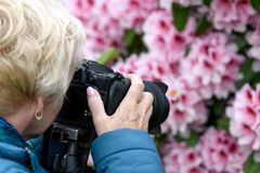 Middle age woman photographing the blooming rhododendrons stock images