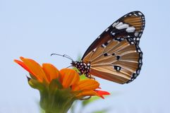 Close Up Photo of Monarch Butterfly on Top of Flower Stock Image