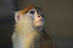 Close up photo of monkey in zoo Stock Image