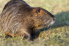 Close up photo of a nutria, also called coypu Royalty Free Stock Images