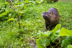 Close up photo of a nutria, also called coypu or river rat, against green background.  royalty free stock photo