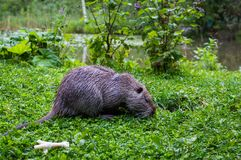 Close up photo of a nutria, also called coypu or river rat, against green background.  stock photography