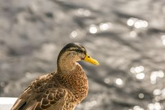 Close up photo oа the duck Stock Image