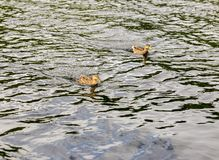 Close up photo oа the duck Royalty Free Stock Images